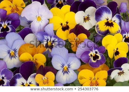 цветок желтый цветочный горшок фон лет белый Сток-фото © FOKA
