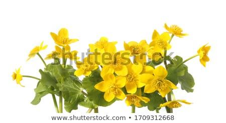 Marsh Marigold flower Stock photo © manfredxy