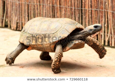 Closeup shot of big and fast turtle Stock photo © Nobilior