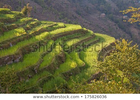 Arrozal detalhes japonês comida campo fazenda Foto stock © craig
