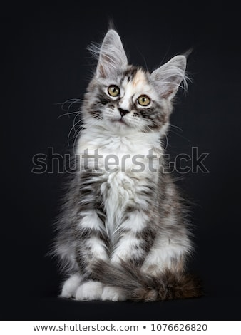 majestic tortie maine coon cat kitten girl sitting side ways isolated on black background stock photo © catchyimages