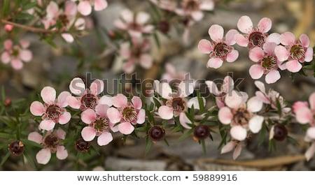 Australian Native Spring Flowers Leptospernum Pink Cascade Stok fotoğraf © Sherjaca