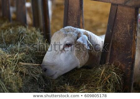 Fehér birka eszik széna fű természet Stock fotó © inxti