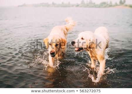 golden · retriever · hond · spelen · strand · zon · zonsondergang - stockfoto © wjarek