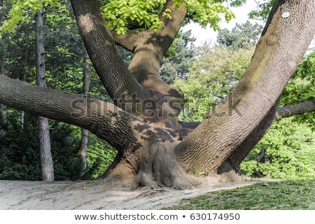 stem of oak trees in fascinating light in a park in Vienna Stock photo © meinzahn
