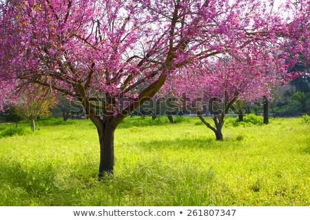 blooming double cherry blossom tree stock photo © shihina