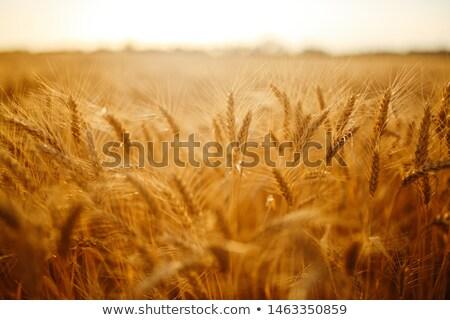 Elképesztő arany búzamező gyönyörű tájkép gabonafélék Stock fotó © lypnyk2