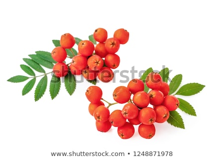 Bunch rowan. Rowanberry Stock photo © orensila