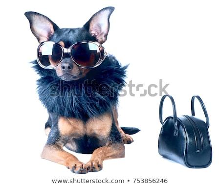 Сток-фото: Diva Chic Dog