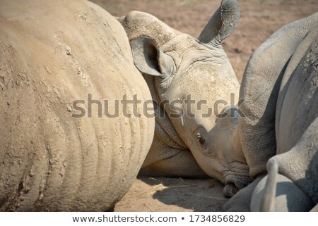 curious little baby white rhino stock photo © simoneeman