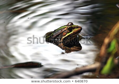 Green bullfrog in a pond with lillypads Stock photo © njnightsky