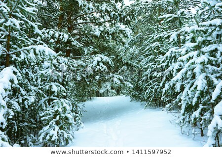 Evergreens covered in fresh snow fall Stock photo © lovleah