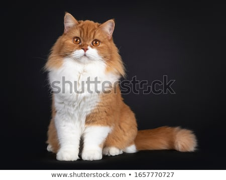 Red with white British Longhair kitten on black Stock photo © CatchyImages