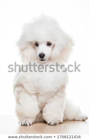 Surprised Little Poodle Stock photo © cthoman