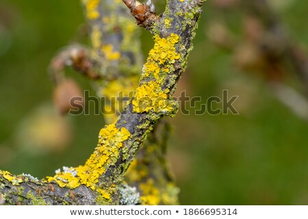 Yellow parasitic fungus on twig Stock photo © artush