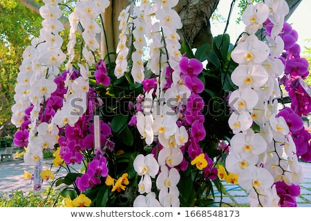 Orchids (Orchidaceae) Stock photo © ajlber