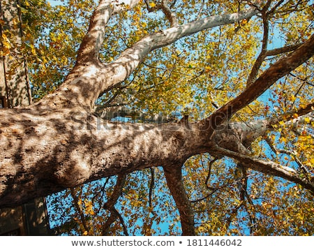detail of a big sycamore stock photo © taviphoto