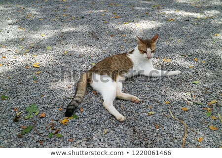 Cat laying down on brown pebble Stock photo © punsayaporn