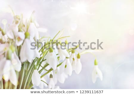 snowdrops in a forest stock photo © mady70