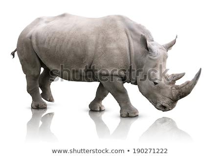rhino isolated on white stock photo © brandonseidel