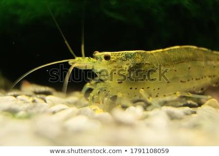 camarão · aquário · mar · vermelho · rio - foto stock © bdspn