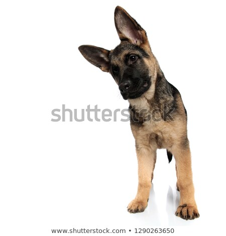 funny german shepard looks down to side while leaning head Stock photo © feedough