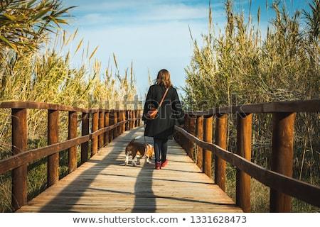 basset hound on wooden bridge Stock photo © caimacanul