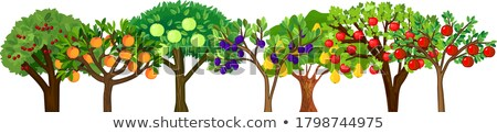 Apple Tree with Yellow Fruits Green Crown Isolated Stock photo © robuart