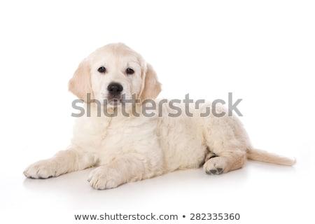 Studio shot of an adorable Golden retriever puppy Stock photo © vauvau