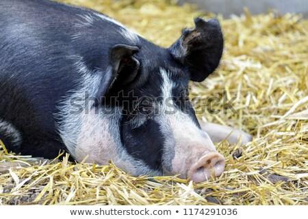 Adulto porco celeiro fazenda norte Foto stock © yhelfman