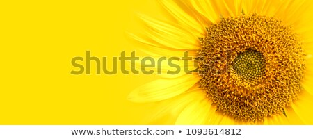 Stock photo: Yellow sunflowers on a sunny day
