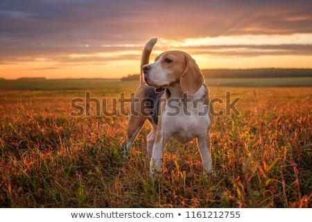 Güzel kırmızı köpek alan oturma çim Stok fotoğraf © ryhor