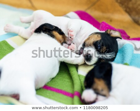 two week old puppy stock photo © willeecole