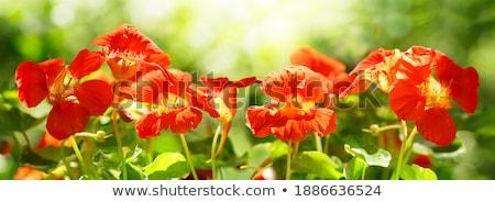 オレンジ · 花 · 孤立した · クローズアップ · 春 · ガーデニング - ストックフォト © stocker