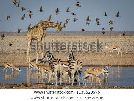 Impala at waterhole in Botswana Stock photo © romitasromala