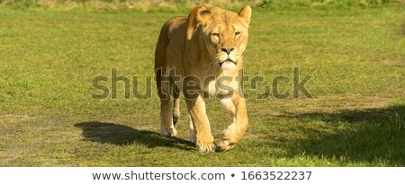 Lioness walking towards the camera. Stock photo © simoneeman