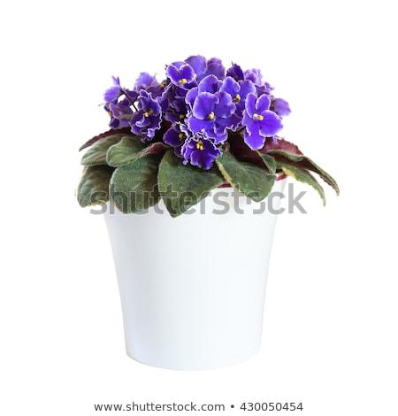 Impianto fiori bianchi pot blu cielo fiore Foto d'archivio © vlaru