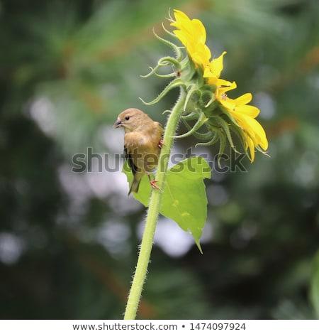 Sunflower Helianthus annuus Stock photo © nailiaschwarz