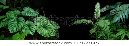 Philodendron in forest Stock photo © smithore