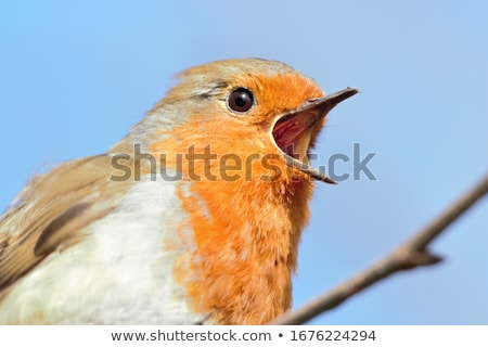 european robin stock photo © ivonnewierink