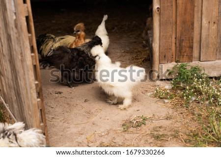 Puszysty kurczaka mały cute odizolowany wiosną Zdjęcia stock © taden