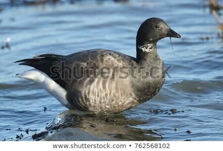 Oie oiseau vol rive faune sauvage Photo stock © suerob