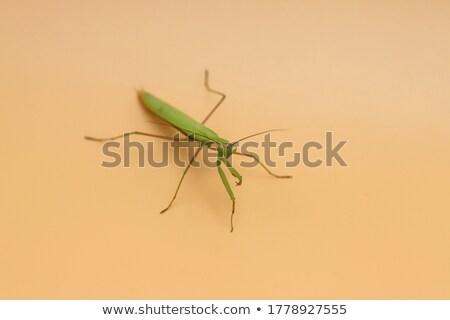 Magnífico verde oração inseto Foto stock © chrisga