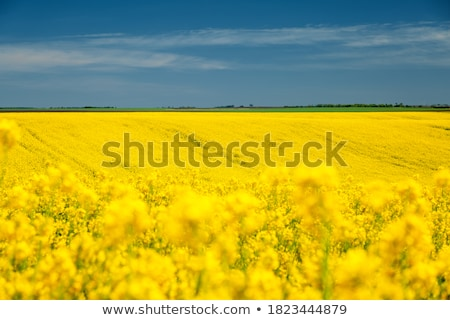 Stock photo: Canola, springtime vivid rural concept