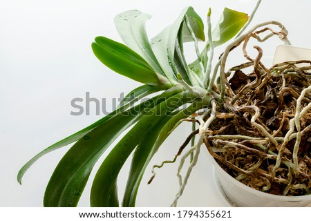 Phalaenopsis orchid Stock photo © Calek