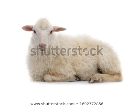 Sheep farm isolated animal. ewe on white background Stock photo © popaukropa