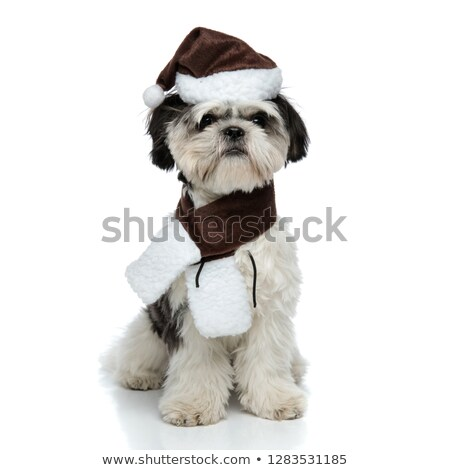 adorable santa shih tzu wearing scarf sitting Stock photo © feedough
