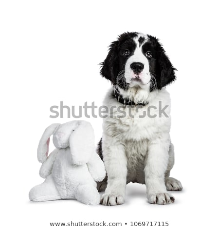 black and white Landseer puppy Stock photo © CatchyImages