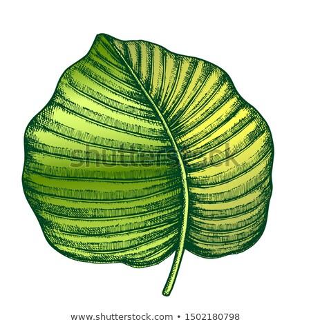 Anthurium Regale Tropical Leaf Color Hand Drawn Vector Stock photo © pikepicture