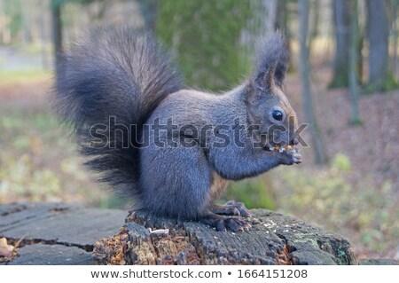 Black squirrel sits on a tree and eats Stock photo © galitskaya